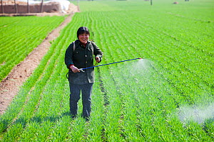 Woman, wearing no protection, spraying pesticide onto wheat crop near Hangang in northern China. March 2009  -  Ashley Cooper