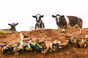 Cows at edge of eroded cliff in Walney Island, where erosion has revealed buried landill, Barrow in Furness, Cumbria, England, UK. June 2008  -  Ashley Cooper