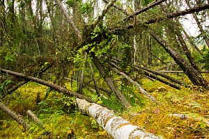 A 'Drunken forest' in Fairbanks, Alaska where trees are collapsing into the ground due to global warming induced permafrost melt. ~Alaska, USA, September 2004 - Ashley Cooper
