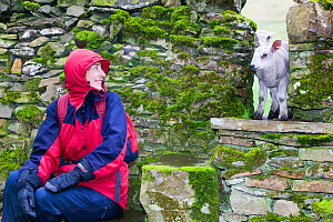 Inquisitive young lambs peak through a stile in a drystone wall Yorkshire Dales National Park. April 2005 - Ashley Cooper