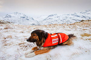 A SARDA (Search and Rescue Dog Association) dog on a search for a missing walker, Lake District, England, UK. February 2009 - Ashley Cooper