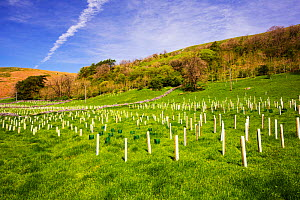 Woodland restoration and tree planting in Littondale, Yorkshire,Dales, UK. May 2014. - Ashley Cooper