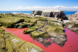 Pool coloured red from algae that have been fertilized by seabird guano on the Farne Islands, Northumberland, England, UK. July. - Ashley Cooper