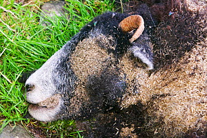 Maggots on a dead sheep  -  Ashley Cooper