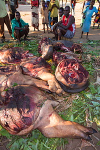 Malawians butchering a Hippopotamus (Hippopotamus amphibius) near Chikwawa, Malawi. March 2015.  -  Ashley Cooper