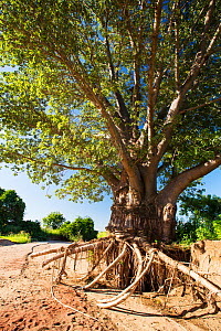 Tree with surrounding soil washed away exposing roots, during the January 2015 flooding, near Bangula, Malawi. March 2015. - Ashley Cooper