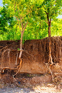 Trees with surrounding soil washed away to expose roots during the January 2015 flooding, near Chikwawa, Malawi. March 2015. - Ashley Cooper