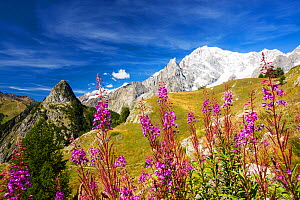 Rosebay willowherb (Chamaenerion angustifolium) in front of Mont Chetif and the Mont Blanc range, from Refuge Bertone, above Courmayeur, Italy. August 2014.  -  Ashley Cooper