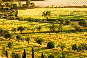 Traditional agriculture in evening light. with small fields growing cereal, interspersed with fruit trees, in La Calahorra, Andalucia, Spain, May 2011.  -  Ashley Cooper