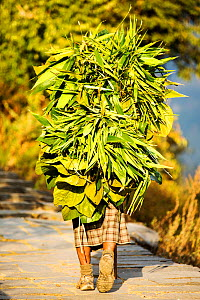 Woman carrying a load of foliage from the surrounding forest to feed goats and cows. Annapurna, Himalayas, Nepal, December 2012 - Ashley Cooper