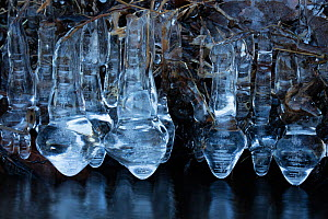 Ice, formed at edge of lake, Maryland, USA, January. - John Cancalosi