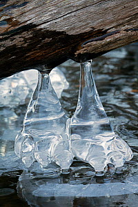 Icicles, formed at edge of lake, Maryland, USA. January. - John Cancalosi