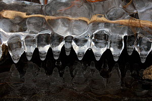 Icicles, formed at edge of lake, Maryland, USA, January. - John Cancalosi
