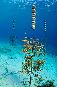 "Staghorn coral (Acropora cervicornis) growing on Coral nursery ""tree"", in project by Coral Restoration Foundation Bonaire. Buddy's Reef, Bonaire, Leeward Antilles, Caribbean. - Linda Pitkin"