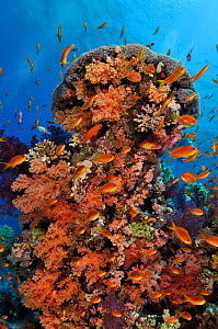 Coral reef with anthias (Pseudanthias squamipinnis), and soft corals, (Dendronephthya sp.) Shark Reef to Jolande, Ras Mohammed National Park, Egypt, Red Sea.  -  Linda Pitkin