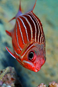 Crown squirrelfish (Sargocentron diadema) The Barge wreck, near Bluff Point, Gubal I., Gulf of Suez, Egypt, Red Sea.  -  Linda Pitkin