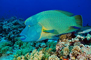 Humphead wrasse (Cheilinus undulatus) on coral reef. Shark Reef to Jolande, Ras Mohammed National Park, Egypt, Red Sea. - Linda Pitkin