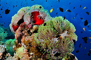 Magnificent sea anemones (Heteractis magnifica) with Three-spot dascyllus / Dominos (Dascyllus trimaculatus), and Two-banded anemonefish (Amphiprion bicinctus) Anemone City, Ras Mohammed National Park...  -  Linda Pitkin