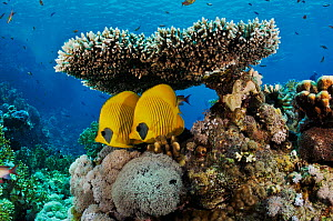 Masked butterflyfish (Chaetodon semilarvatus), pair sheltering under table coral (Acropora) Shark Reef to Jolande, Ras Mohammed National Park, Egypt, Red Sea.  -  Linda Pitkin