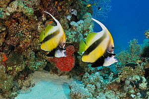 Red Sea bannerfish (Heniochus intermedius), pair on coral reef, Small Passage, Gulf of Suez, Egypt, Red Sea. - Linda Pitkin