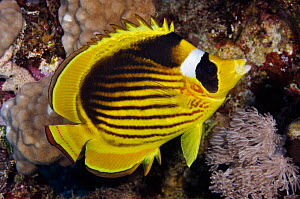 Red Sea raccoon butterflyfish  (Chaetodon fasciatus)  Ras Katy, Gulf of Aqaba, Egypt, Red Sea. - Linda Pitkin