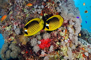 Red Sea raccoon butterflyfish  (Chaetodon fasciatus), on coral reef, Beacon Rock reef, Strait of Gubal, Gulf of Suez, Egypt, Red Sea. - Linda Pitkin