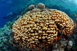 Stony coral (Porites sp.) with Anthias (Pseudanthias squamipinnis), and diver Ras Ghozlani, Ras Mohammed National Park, Egypt, Red Sea.  -  Linda Pitkin