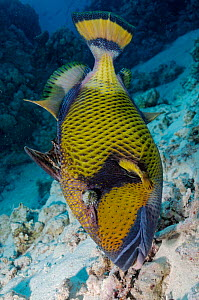 Titan triggerfish (Balistoides viridescens), guarding nest site, in head down pose Sataya South, Fury Shoal, Egypt, Southern Red Sea  -  Linda Pitkin