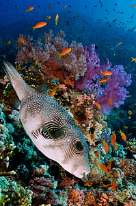 Whitespotted puffer (Arothron hispidus) on coral reef, Shark Reef to Jolande, Ras Mohammed National Park, Egypt, Red Sea. - Linda Pitkin
