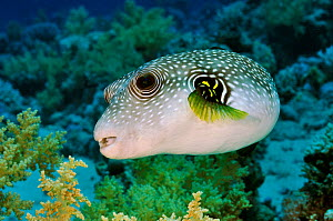 Whitespotted puffer (Arothron hispidus) on coral reef, Jackfish Alley, Ras Mohammed NP, Egypt, Red Sea. - Linda Pitkin