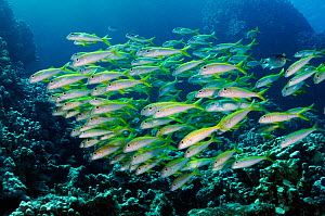 Yellowfin goatfish (Mulloidichthys vanicolensis), school on coral reef. Sha'ab Claudio, Fury Shoal, Egypt, Southern Red Sea.  -  Linda Pitkin