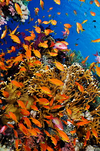 Anthias fish (Pseudanthias squamipinnis), by Fire coral (Millepora dichotoma) on coral reef, Shark Reef to Jolande Reef, Ras Mohammed National Park, Egypt, Red Sea.  -  Linda Pitkin