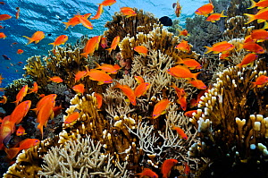 Anthias fish (Pseudanthias squamipinnis), by Fire coral (Millepora dichotoma) and soft coral,  on coral reef, Shark Reef to Jolande Reef, Ras Mohammed National Park, Egypt, Red Sea.  -  Linda Pitkin