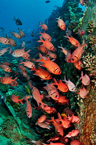 Blotcheye soldierfish (Myripristis murdjan) by wreck of The Barge,  near Bluff Point, Gubal I., Gulf of Suez, Egypt, Red Sea.  -  Linda Pitkin