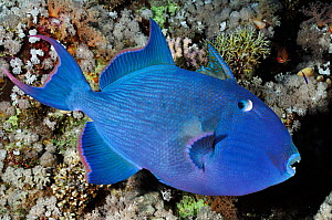 Blue triggerfish (Pseudobalistes fuscus) Shark Reef to Jolande Reef, Ras Mohammed National Park, Egypt, Red Sea.  -  Linda Pitkin