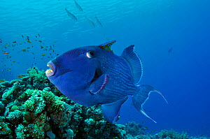 Blue triggerfish (Pseudobalistes fuscus) Shark Reef to Jolande, Ras Mohammed National Park, Egypt, Red Sea.  -  Linda Pitkin