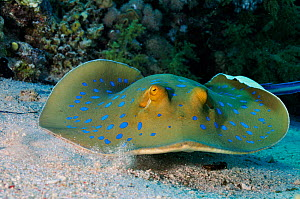 Bluespotted ribbontail ray (Taeniura lymma) Jolande Reef, Ras Mohammed National Park, Egypt, Red Sea. - Linda Pitkin