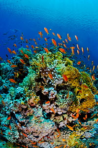 Coral reef with Anthias fish (Pseudanthias  squamipinnis), and Fire coral (Millepora dichotoma) Shark Reef to Jolande, Ras Mohammed National Park, Egypt, Red Sea.  -  Linda Pitkin