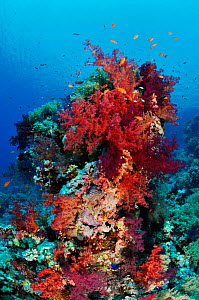 Coral reef with Anthias fish (Pseudanthias squamipinnis),  and soft corals, (Dendronephthya sp.) Shark Reef to Jolande, Ras Mohammed National Park, Egypt, Red Sea.  -  Linda Pitkin