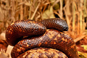 Calabar burrowing boa snake (Calabaria reinhardtii) in defensive ball,  captive, occurs equatorial rain forest of West and central Africa. Head and tail are very similar  -  Daniel  Heuclin