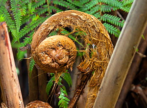 Hawaii tree fern / Hapu'u (Cibotium glaucum) frond unfurling, Hawaii Volcanoes National Park, Hawaii. December 2016.  -  Kirkendall-Spring