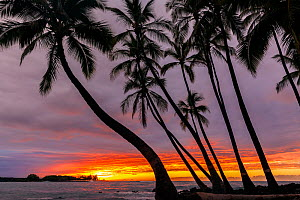Coconut trees (Cocos nucifera) silhouetted against the sunset over the Pacific Ocean, Kekaha Kai State Park along the Kona Coast Hawaii. December 2016. - Kirkendall-Spring