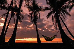 Coconut trees (Cocos nucifera) silhouetted against the sunrise with person sleeping in a hammock, Punalu'u Beach Park, Hawaii. December 2016. - Kirkendall-Spring