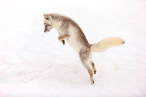 Arctic fox (Vulpes lagopus) young fox pouncing, Iceland. October.  -  David Allemand