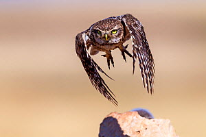 Little owl (Athene noctua) flying, Saragossa, Spain. July.Small repro only - David Allemand
