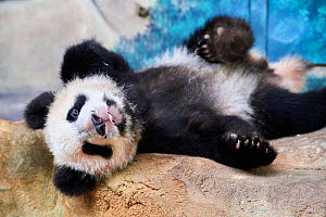 Giant panda cub (Ailuropoda melanoleuca) lying down, Yuan Meng, first Giant panda even born in France, now aged 10 months, Beauval Zoo, France - Eric Baccega