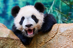 Giant panda (Ailuropoda melanoleuca) cub yawning. Yuan Meng, first giant panda ever born in France,  age 10 months, Captive at Beauval Zoo, Saint Aignan sur Cher, France - Eric Baccega