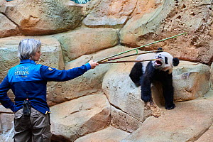 Keeper playing with giant panda cub and bamboo sticks (Ailuropoda melanoleuca) captive. Yuan Meng, first giant panda ever born in France, is now 10 months old but still feeds on his mother's milk, Cap... - Eric Baccega