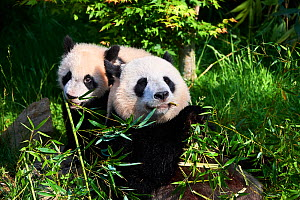 Giant panda (Ailuropoda melanoleuca) female, Huan Huan feeding on bamboo with her playful cub. Yuan Meng, first giant panda even born in France, age 10 months, still feeding on the milk of its mother... - Eric Baccega