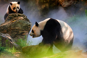 Giant panda (Ailuropoda melanoleuca) female Huan Huan and her cub out in their enclosure in mist. Yuan Meng, first giant panda ever born in France, age 10 months, Captive at Beauval Zoo, Saint Aignan... - Eric Baccega